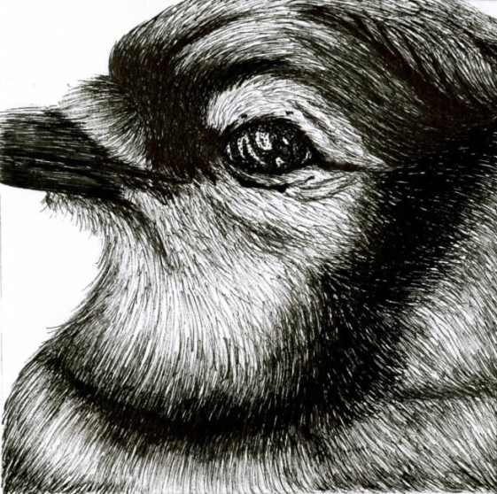 Freehand Drawing   Blue Jay Bird Close Up Details