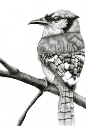 Freehand Drawing | Blue Jay Bird