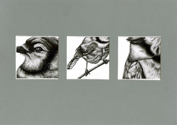 Freehand Drawing | Blue Jay Bird Series