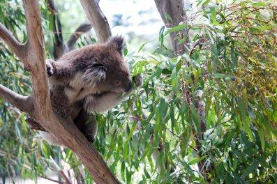 Melbourne Zoo | Koala