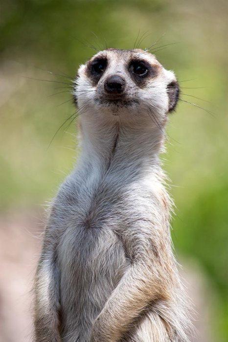 Melbourne Zoo   Meerkat