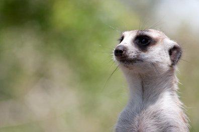 Melbourne Zoo | Meerkat