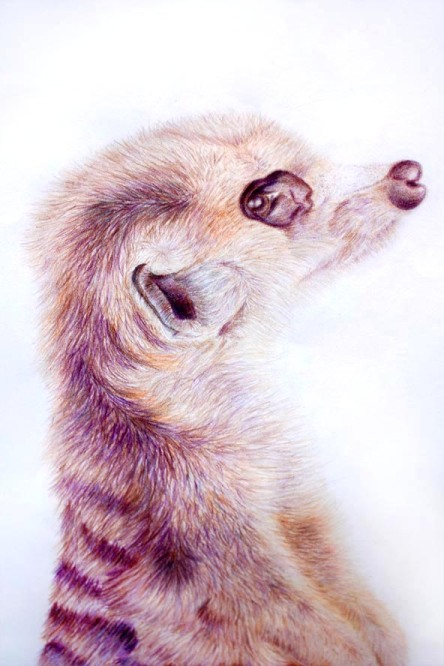 Freehand Drawing | Meerkat Close Up