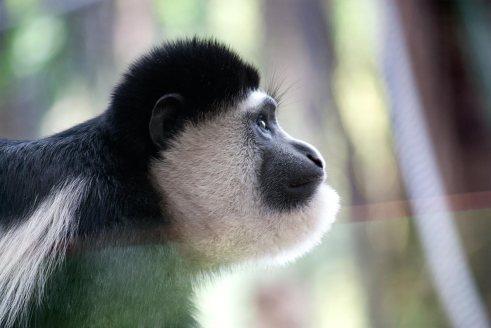 Melbourne Zoo   Colobus Monkey