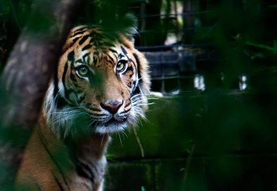 Melbourne Zoo | Tiger